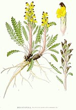 569 Pedicularis flammea.jpg