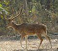 591 Spotted-Deer.jpg