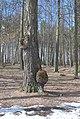 594. Остафьевский пейзажный парк. Капы на берёзе. 21.04.13..JPG