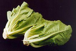 ARS romaine lettuce.jpg