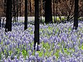 AWESOME lupine and black trees awesome pic (18432614869).jpg