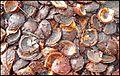 A Lille Marrons d'Inde toxiques écrasés toxic Common Horse Chestnut 08.jpg