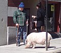 A Pig on Main Street Brattleboro.jpg