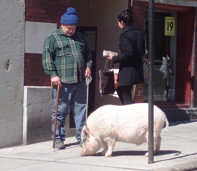 File:A Pig on Main Street Brattleboro.jpg