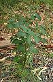A Solanum nigrum plant.jpg
