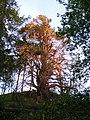 A Sunlit Tree at Millbuies - geograph.org.uk - 1346612.jpg