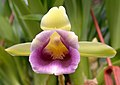 A and B Larsen orchids - Cochleanthes discolor DSCN5037.JPG
