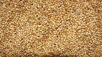 A closeup of Thinai millet with husk..JPG