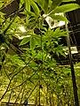 A commercial cannabis grow facility in Denver, Colorado.jpg