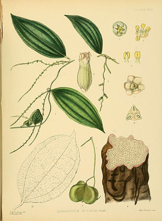Lilioid monocots - Image: A hand book to the flora of Ceylon (Plate XCIII) (6430664353)