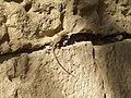 A lizard on the wall - panoramio.jpg