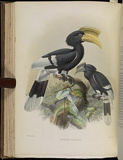 A monograph of the Bucerotidæ, or family of the hornbills (Plate XXX) (7090229431).jpg