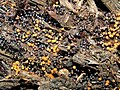 A slime mould - Metatrichia floriformis - geograph.org.uk - 1493934.jpg