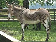 Zebra полная информация и онлайн распродажа с бесплатной