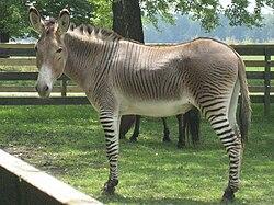 Zêbr'âne en captivité dans ANE 250px-A_zonky