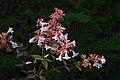 Abelia grandiflora C.jpg