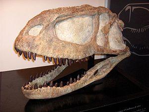 Abelisauridae - Skull of Abelisaurus.