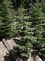 Abies concolor 08317.JPG