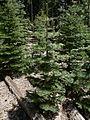 Abies concolor 08317.JPG