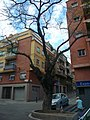 Acàcia del Japó del carrer del Mas Duran P1500898.jpg