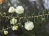 Acacia ulicifolia flowers 1.jpg
