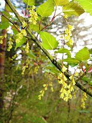 Acer crataegifolium 1.JPG