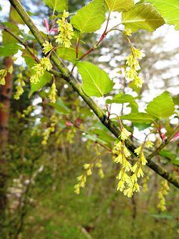 Acer crataegifolium 1