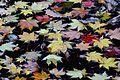 Acer palmatum - Flickr - odako1 (2).jpg