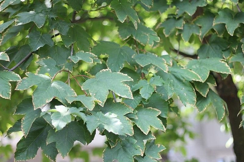 File:Acer pseudoplatanus - Javor (2).jpg
