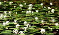 Acqua Flowers (169983324).jpg
