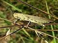 Acrididae grasshopper-2.jpg