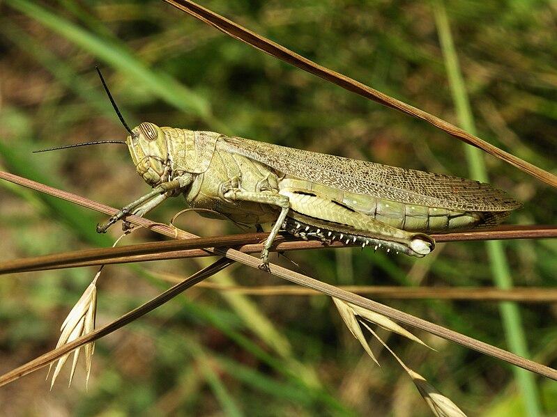 quel est votre insecte préféré 799px-Acrididae_grasshopper-2