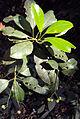 Acronychia pedunculata 12.JPG