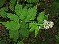 Actaea spicata 2 RF.jpg