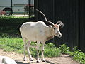 Addax nasomaculatus in the Silesian Zoological Garden 03.JPG