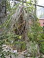 Adenia fruticosa - Palmengarten Frankfurt - DSC01675.JPG