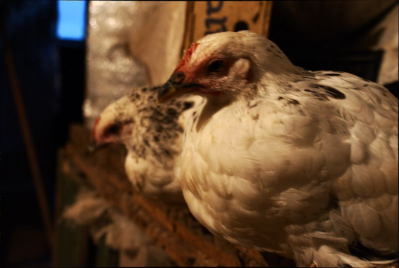 File:Adlerian silver chicks preparing to sleep indoor (3 months old) 1.jpg