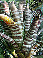 Aechmea chantinii, the Zebra Bromeliad (9277318466).jpg