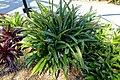 Aechmea maculata - Marie Selby Botanical Gardens - Sarasota, Florida - DSC01692.jpg