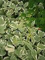 Aegopodium podagraria Variegatum 001.jpg