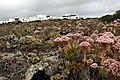 Aeonium lancerottense in Lanzarote, June 2013 (4).jpg