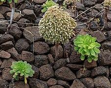 Aeonium urbicum - Macizo de Teno 01.jpg