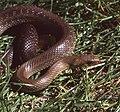 Aesculapean Snake (Zamenis longissimus) (42801938540).jpg