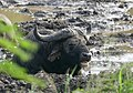African Buffalo (Syncerus caffer) having a mud bath ... (31711357307).jpg