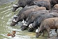 African Buffaloes (Syncerus caffer) drinking ... (32223715871).jpg