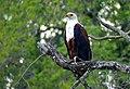 African Fish Eagle (Haliaeetus vocifer) (11802366844).jpg