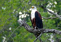 African Fish Eagle (Haliaeetus vocifer) (11802366844).jpg