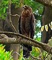 African Harrier Hawk (Polyboroides typus) juvenile (7692074826), crop.jpg