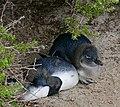 "African Penguins (Spheniscus demersus) ""blue"" juveniles resting ... (32892917046).jpg"