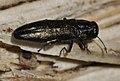 Agrilus-angustulus-02-fws.jpg